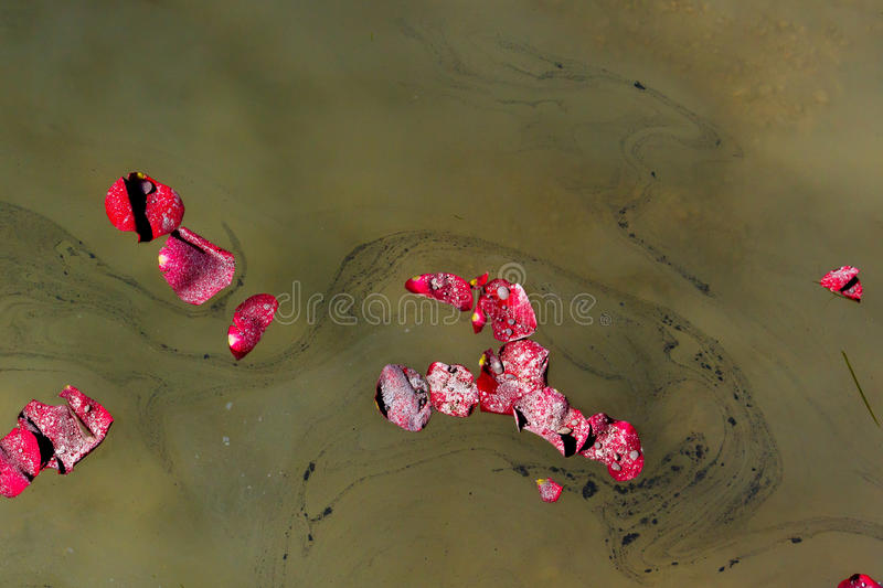 Diagonal Ashes and Petals. Groupings of Rose Petals scattered with the ashes of a loved one float by on a lake during a memorial service royalty free stock image