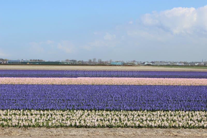 Diagonale rijen van kleurrijke tulpen in rood en roze in een landschap met een bloemgebied op de achtergrond dichtbij Amsterdam i royalty-vrije stock fotografie