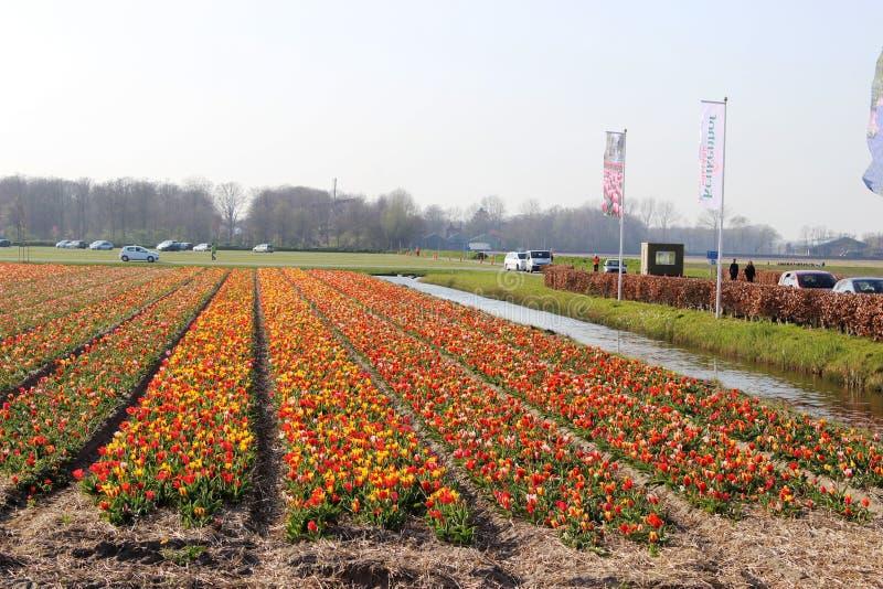 Diagonale rijen van kleurrijke tulpen in rood en roze in een landschap met een bloemgebied op de achtergrond dichtbij Amsterdam i royalty-vrije stock afbeelding