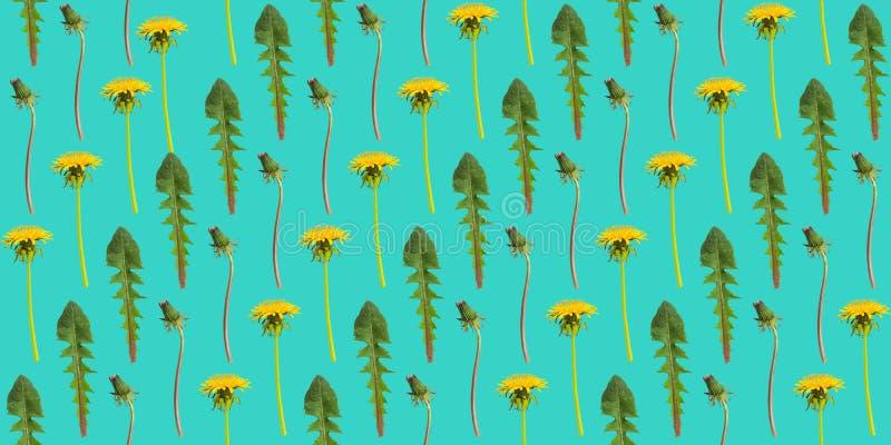 Diagonalni rzędy dandelion liście na zielonym tle i kwiaty zdjęcia royalty free