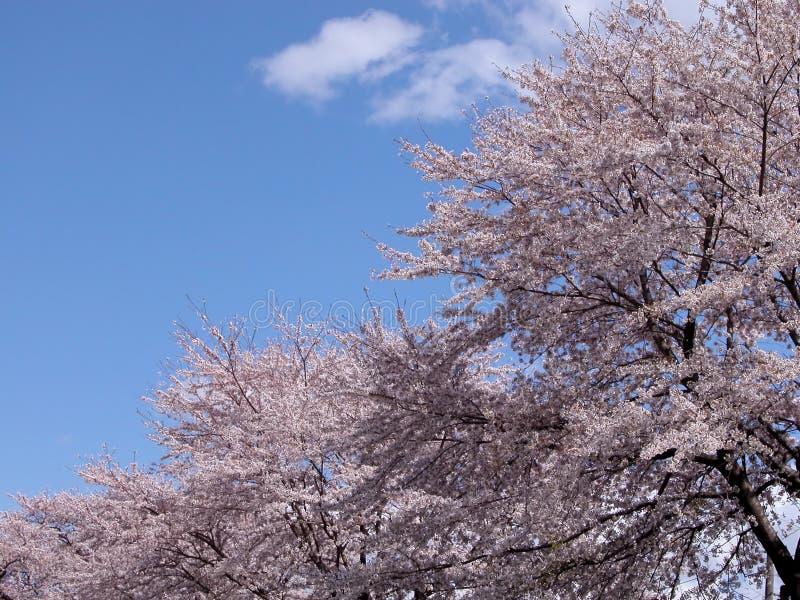 Diagonalny Wiśniowe Drzewo Obraz Royalty Free