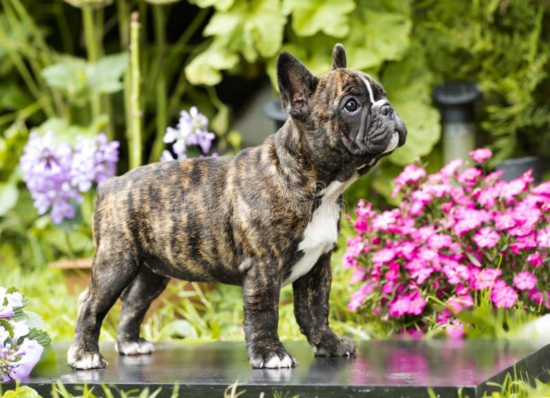 diagonalt franskt huvud för bulldogg som ser den gammala valpsidan som sitter sex till veckor royaltyfria bilder