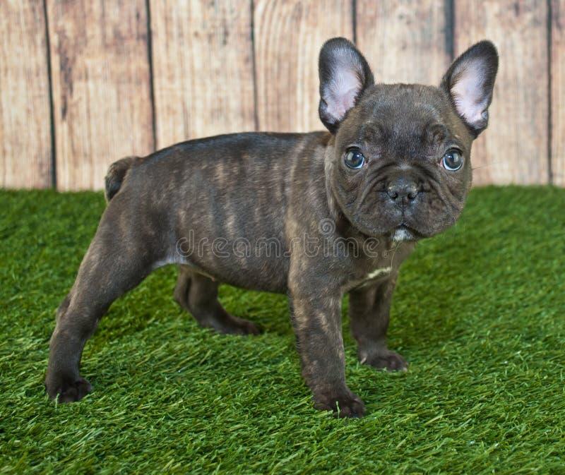diagonalt franskt huvud för bulldogg som ser den gammala valpsidan som sitter sex till veckor royaltyfria foton