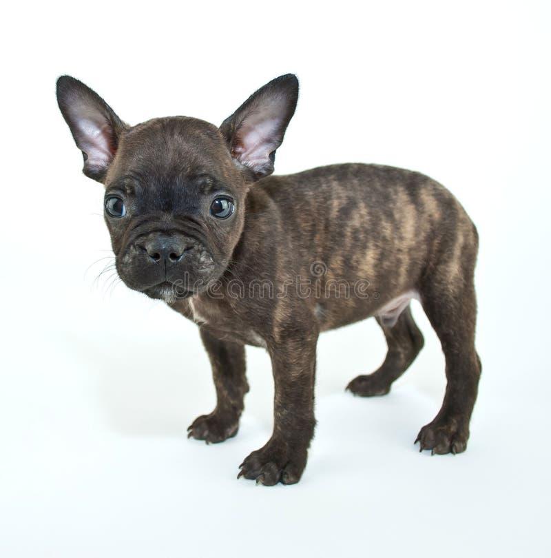 diagonalt franskt huvud för bulldogg som ser den gammala valpsidan som sitter sex till veckor arkivfoto