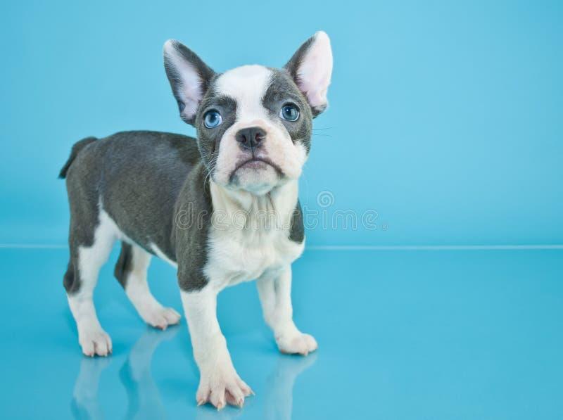 diagonalt franskt huvud för bulldogg som ser den gammala valpsidan som sitter sex till veckor royaltyfri bild