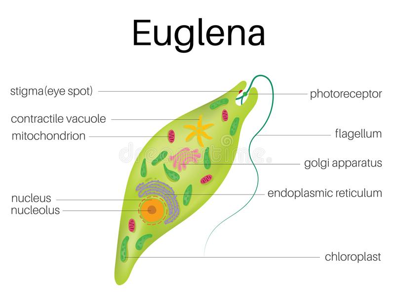 Diagram för The strukturand av Euglena vektor illustrationer