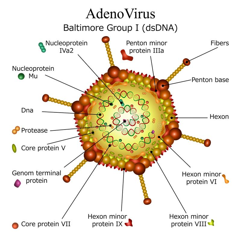 Diagram of Adeno virus particle structure. Colourfull diagram of Adeno virus particle structure with annotations on white background. Vector illustration vector illustration