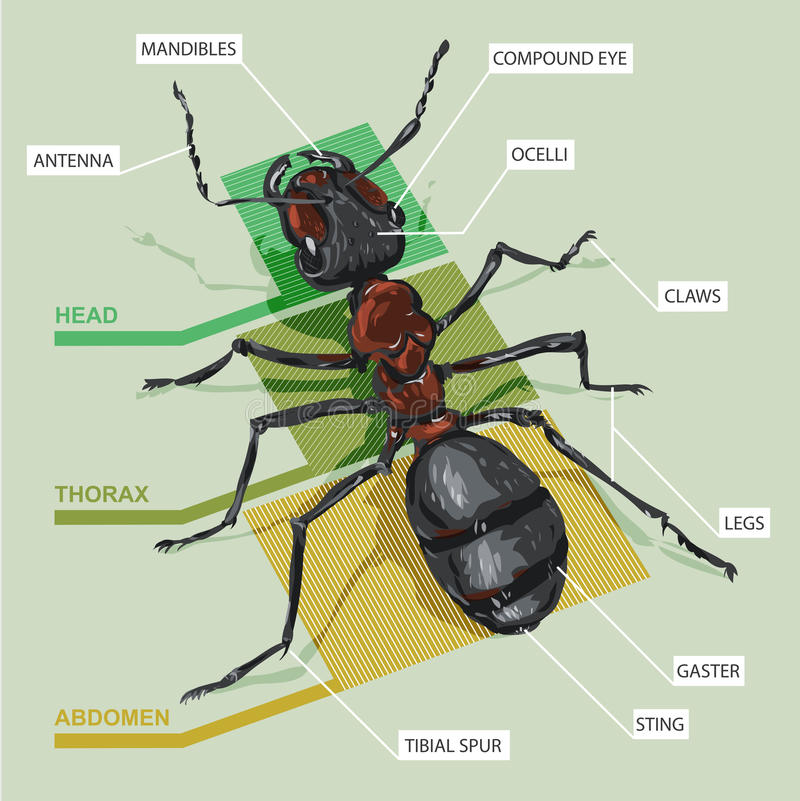 Diagram of an ant. The structure of the ant vector illustration