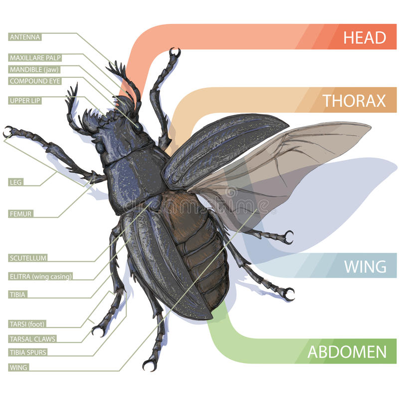 The diagram of the beetle tutorial realistic vector illustrati download the diagram of the beetle tutorial realistic vector illustrati stock vector illustration ccuart Choice Image