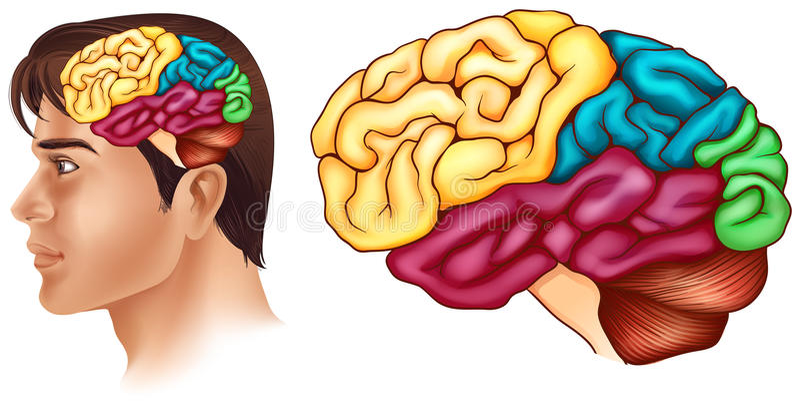 Diagram die verschillende delen van menselijke hersenen tonen royalty-vrije illustratie