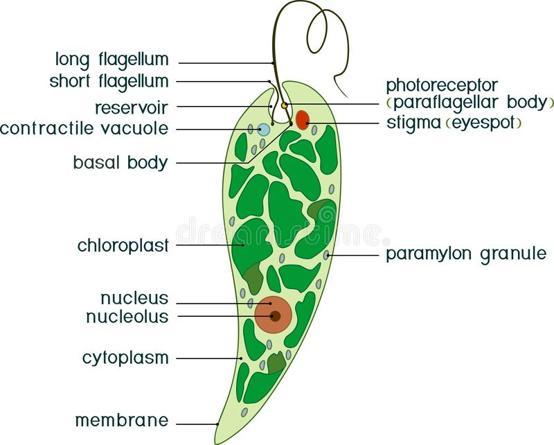 Diagram of Euglena. Structure of Euglena viridis with titles. Isolated on white background stock illustration