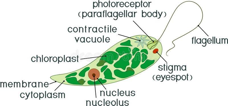 Diagram of Euglena. Structure of Euglena viridis with different organelles. Diagram of Euglena. Structure of Euglena viridis with titles stock illustration