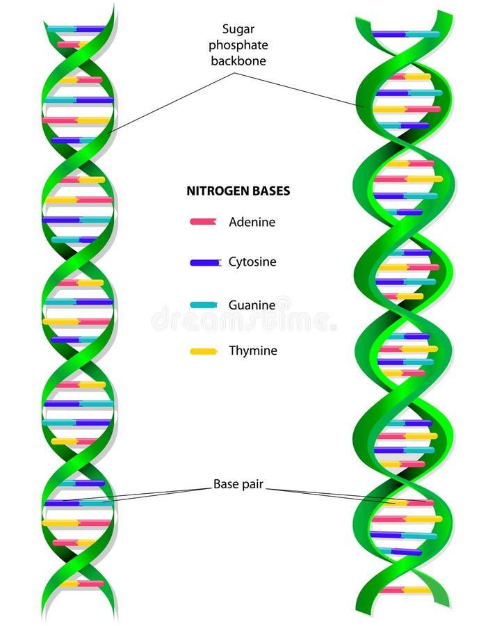 Diagram för DNAmolekylvektor royaltyfri illustrationer
