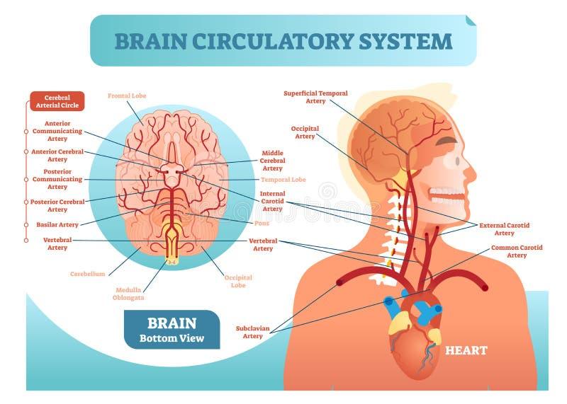 Diagram för illustration för vektor för cirkulations- system för hjärna anatomiskt För blodkärlnätverk för mänsklig hjärna intrig royaltyfri illustrationer