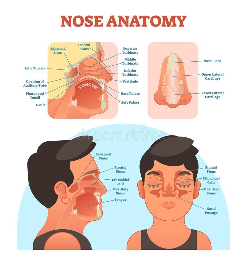 Diagram för illustration för vektor för näsanatomi medicinskt stock illustrationer