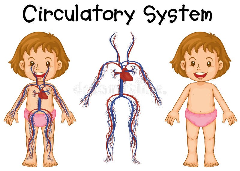 Diagram of girl with circulatory system vector illustration