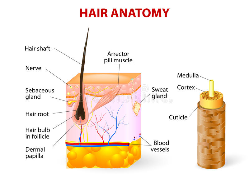 Diagram of a hair follicle in a cross section of s. Hair anatomy. Vector diagram. The hair shaft grows from the hair follicle consisting of transformed skin vector illustration