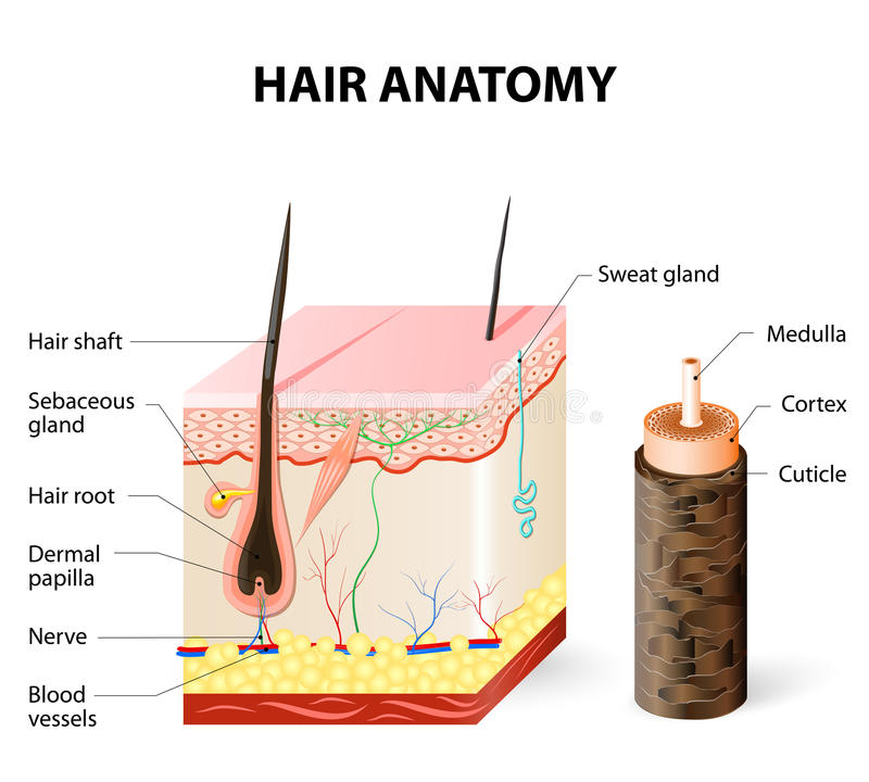 Diagram Of A Hair Follicle In A Cross Section Of Skin Layers Stock ...