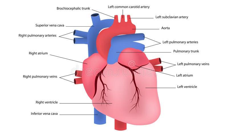 Diagram of human heart stock illustration. Illustration of ...
