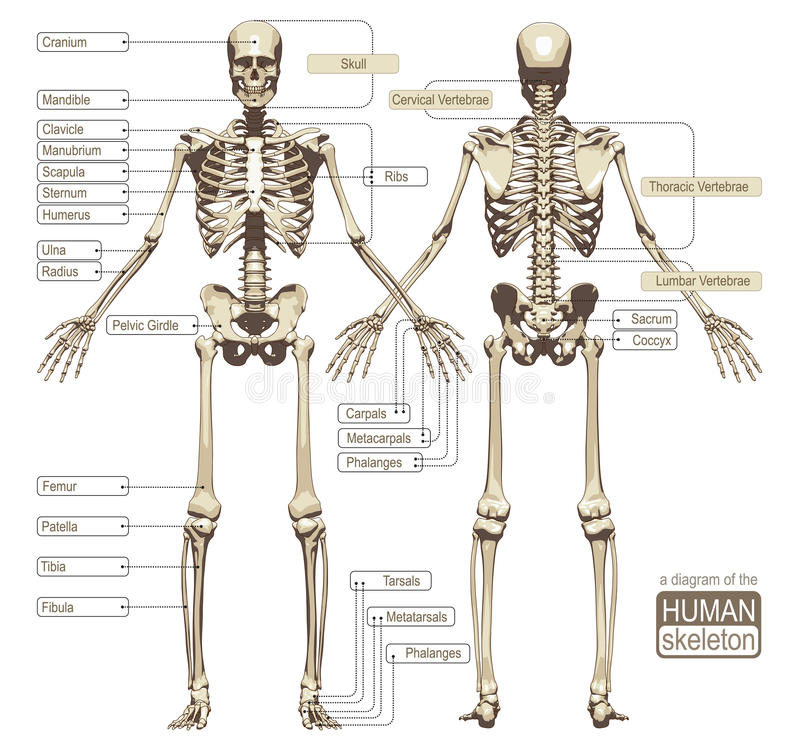 A diagram of the human skeleton stock illustration