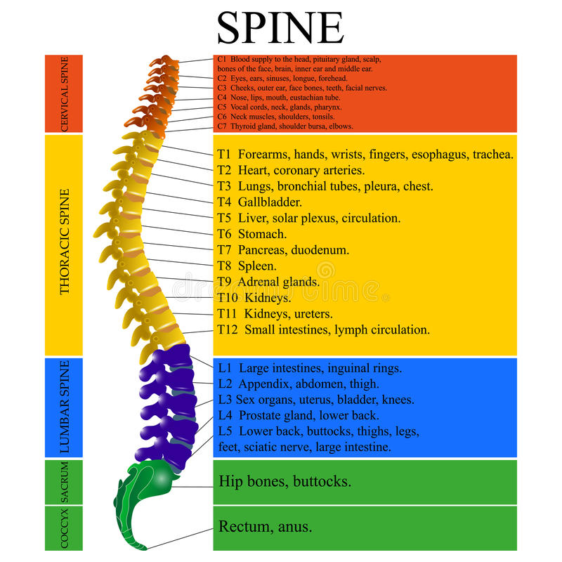 Diagram of a human spine with the name and description of all sections of the vertebrae, vector illustration. Diagram of a human spine with the name and stock illustration