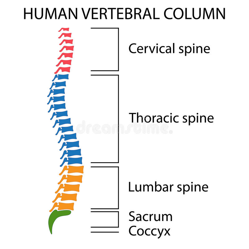 Diagram of a human spine. Diagram of a human spine with names of all sections of the vertebrae royalty free illustration