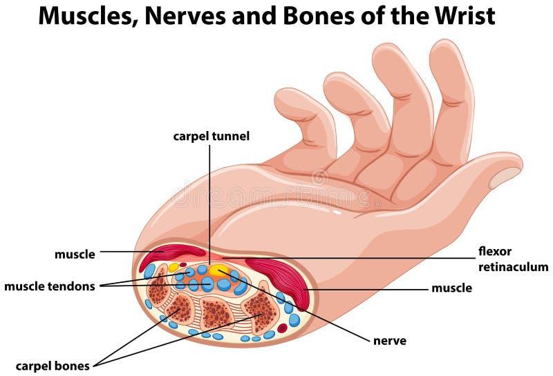 Diagram la mostra della mano umana con i muscoli ed i nervi illustrazione di stock