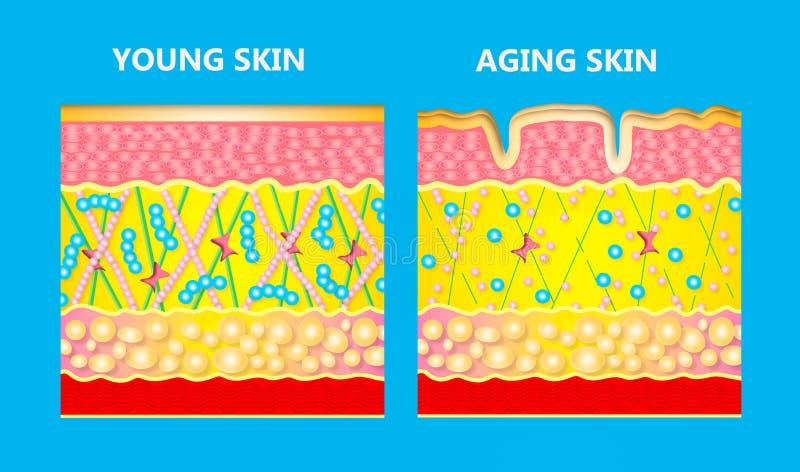 Diagram młoda skóra i starzenie się skóra royalty ilustracja