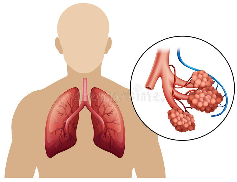 Diagram Of A Magnified Lungs Stock Illustration Illustration Of