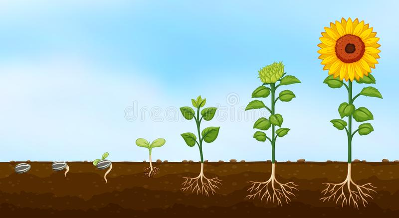 Diagram of plant growth stages vector illustration