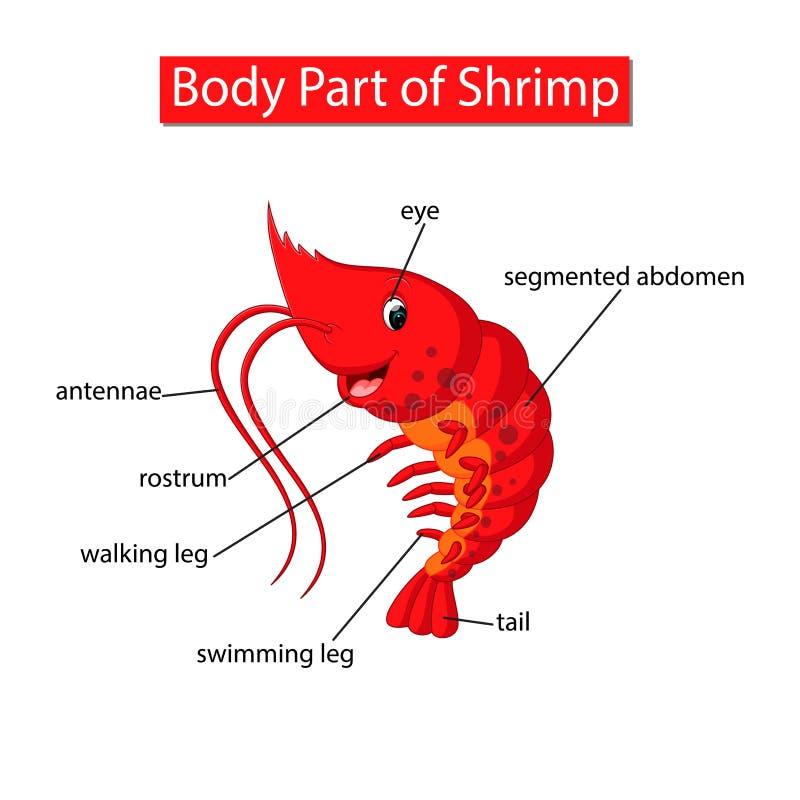 Diagram pokazuje części ciałej garnela ilustracji