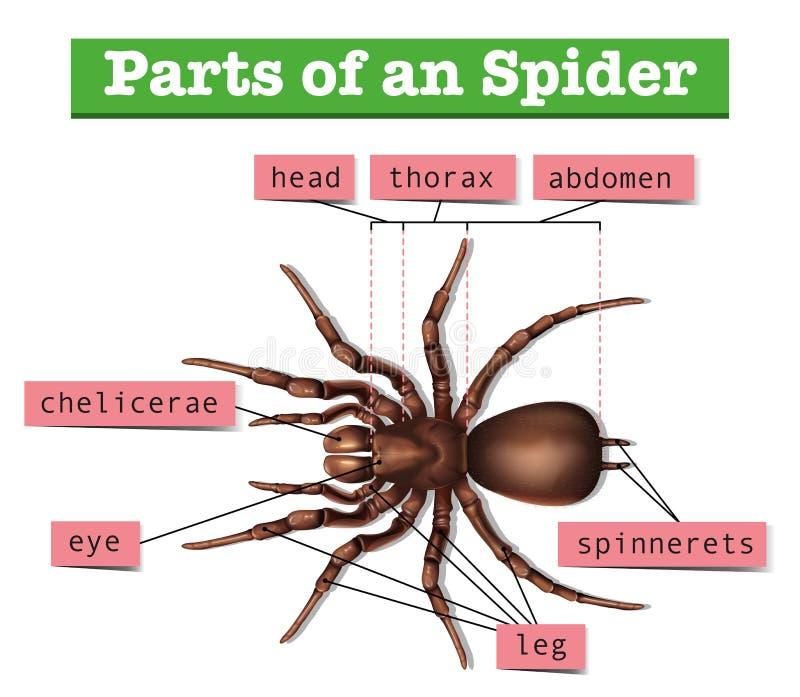 Diagram pokazuje części pająk ilustracja wektor