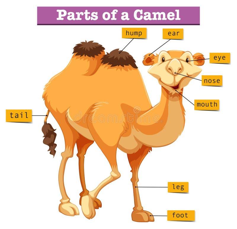 Diagram pokazuje części wielbłąd ilustracji