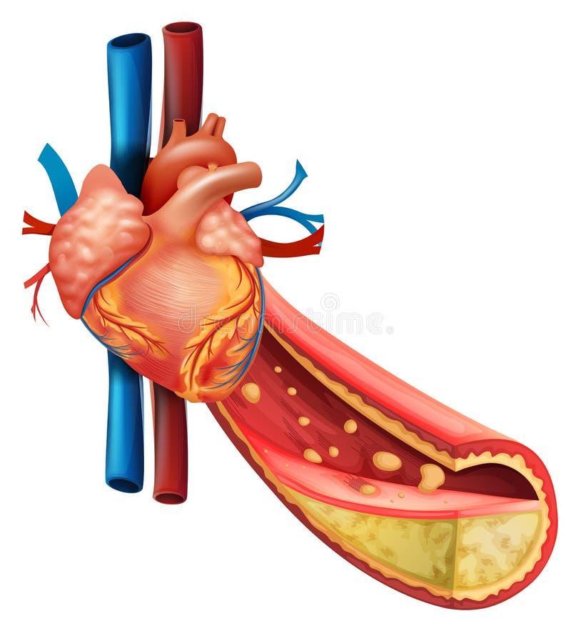 Diagram pokazuje ludzkie serca i sadła żyły ilustracja wektor