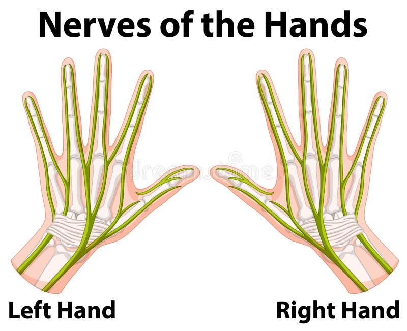 Diagram pokazuje nerwy ręki ilustracji