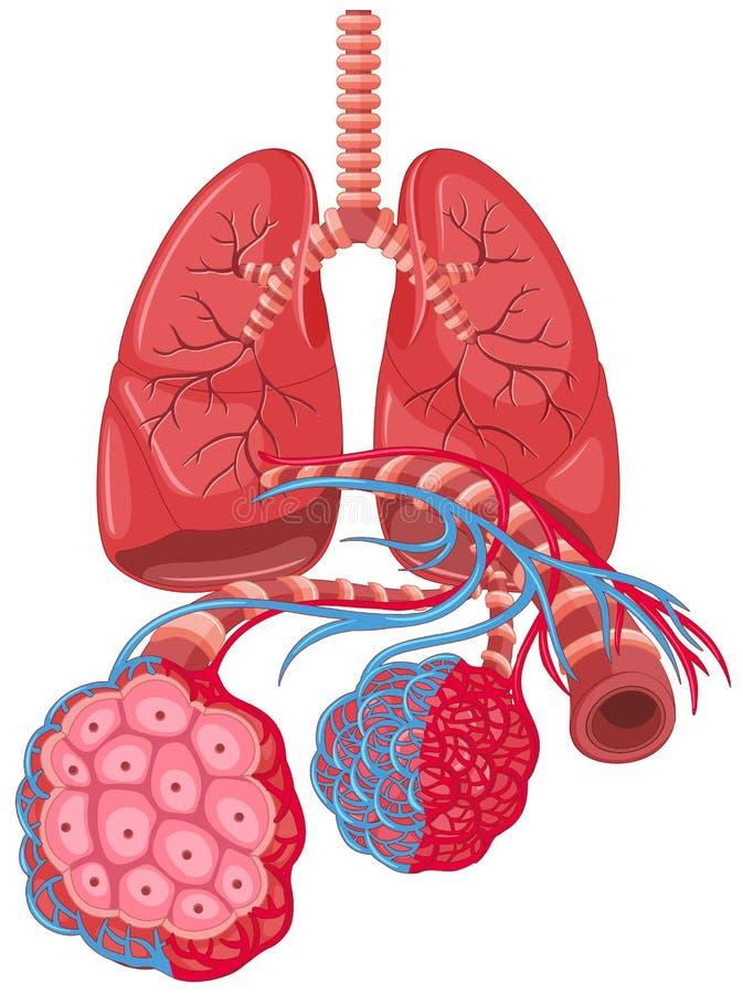 Diagram pokazuje nowotwór płuc ilustracja wektor