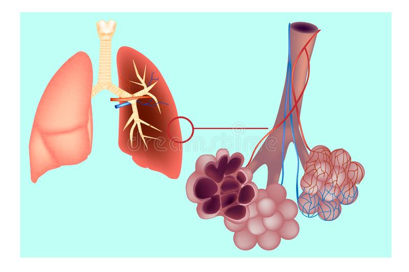 Diagram the pulmonary alveolus air sacs in the lung. The respiratory system lungs with detail of bronchioles and alveoli with capillary network. Alveoli stock illustration