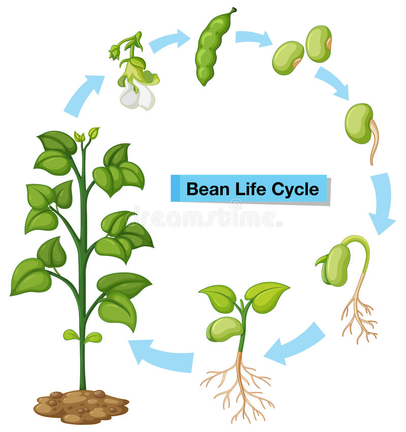 Diagram showing bean life cycle stock illustration