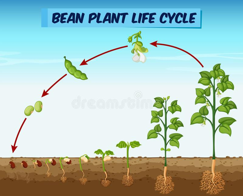 Diagram Showing Bean Plant Life Cycle Stock Vector Illustration Of
