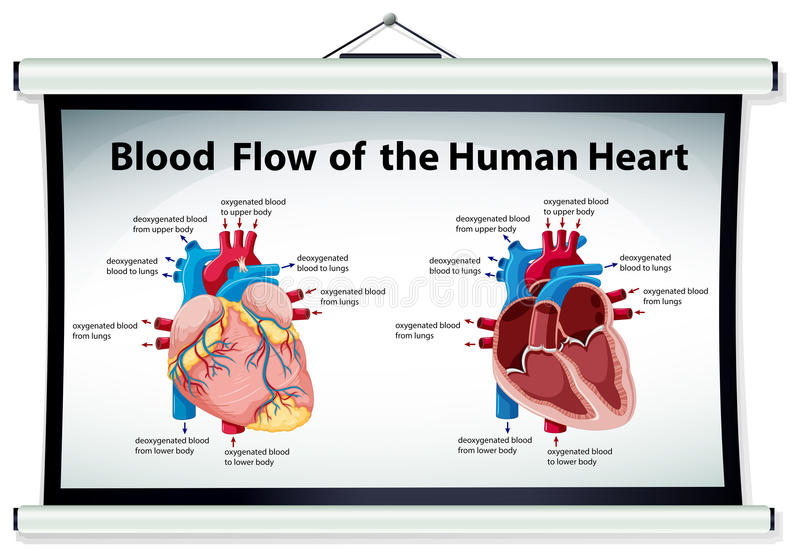 Diagram showing blood flow in human heart stock vector download diagram showing blood flow in human heart stock vector illustration of path blood ccuart Images
