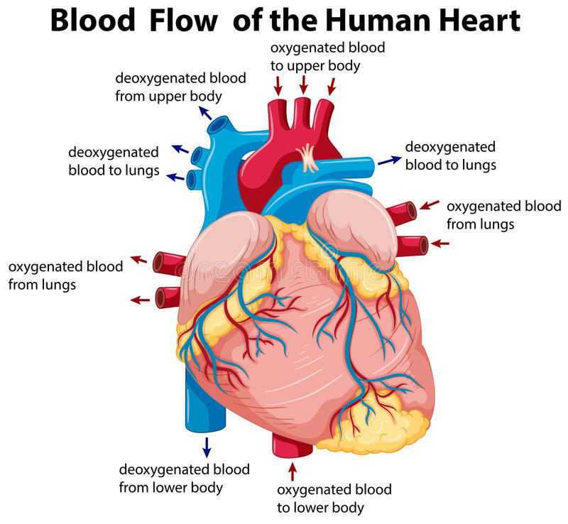 Diagram showing blood flow in human heart stock illustration