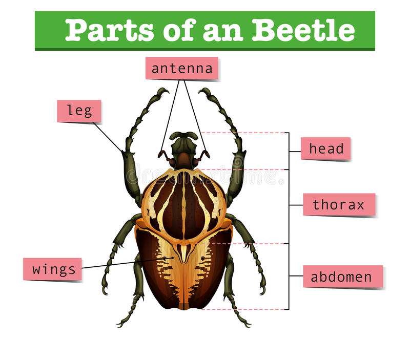 Diagram showing different parts of beetle. Illustration stock illustration