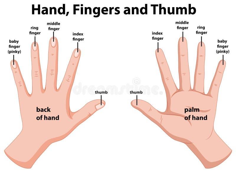 Diagram showing human hands. Illustration royalty free illustration