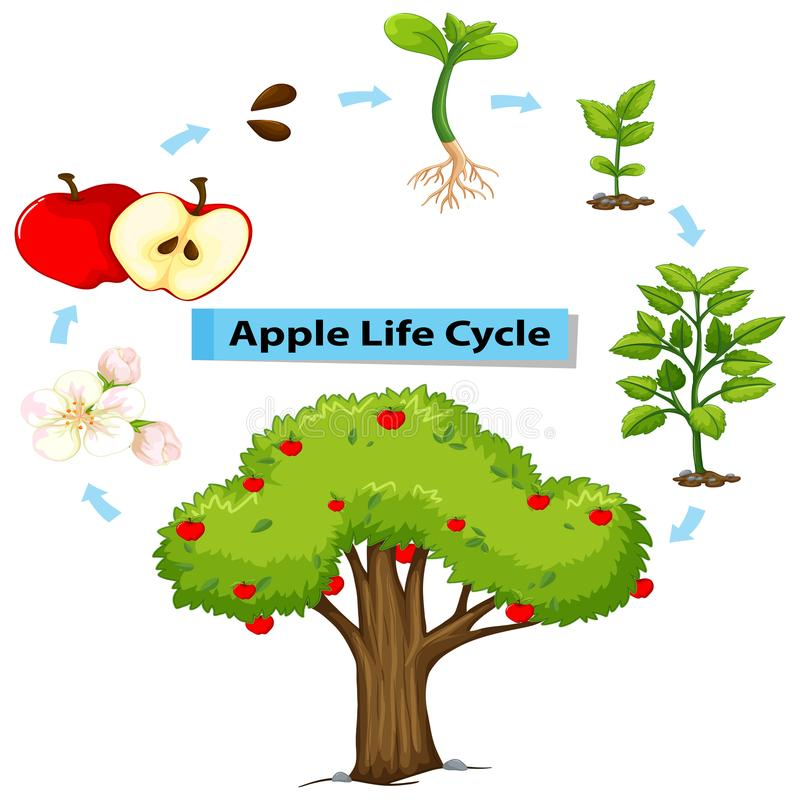 Diagram Showing Life Cycle Of Apple Stock Vector