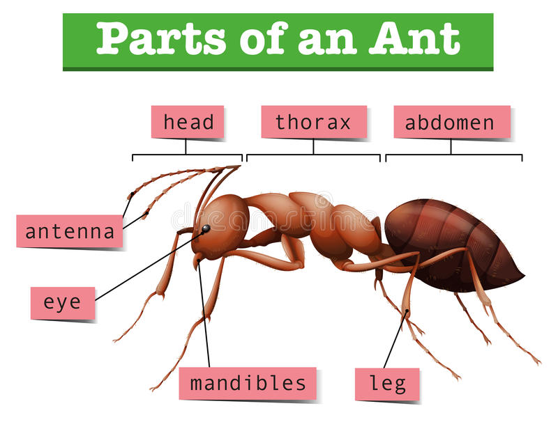 Diagram showing parts of ant royalty free illustration