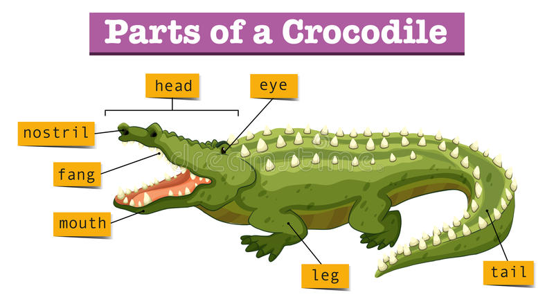 Diagram Showing Parts Of Crocodile Stock Vector