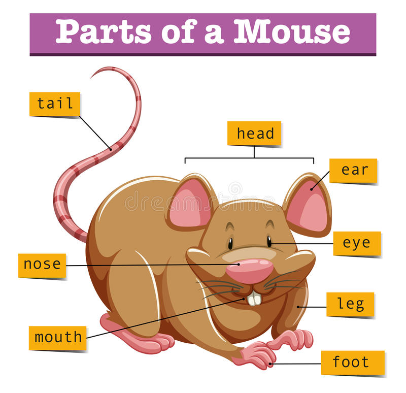 Diagram Showing Parts Of Mouse Stock Vector - Illustration of ...