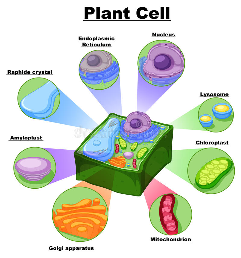 Diagram showing parts of plant cell stock vector illustration of download diagram showing parts of plant cell stock vector illustration of object graphic ccuart Choice Image