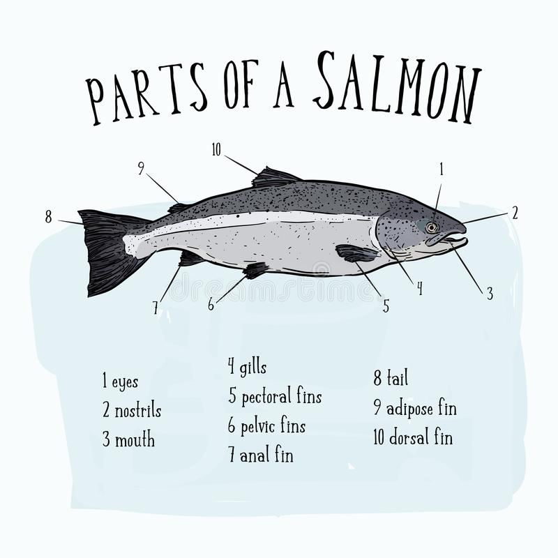 Diagram showing parts of salmon illustration - Vector. Diagram showing parts of salmon illustration - hand draw sketch Vector stock illustration