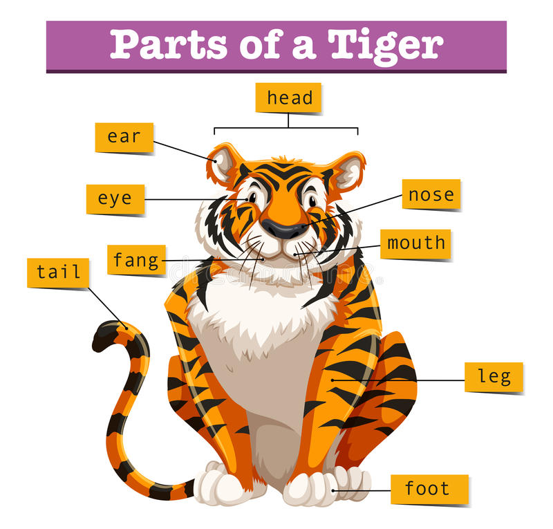 Diagram showing parts of tiger stock illustration